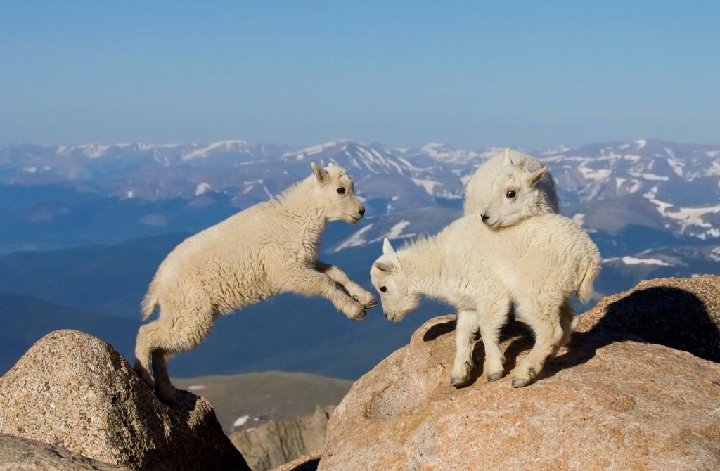 goats-1024x670