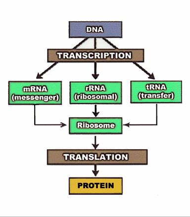 Central Dogma resized 600