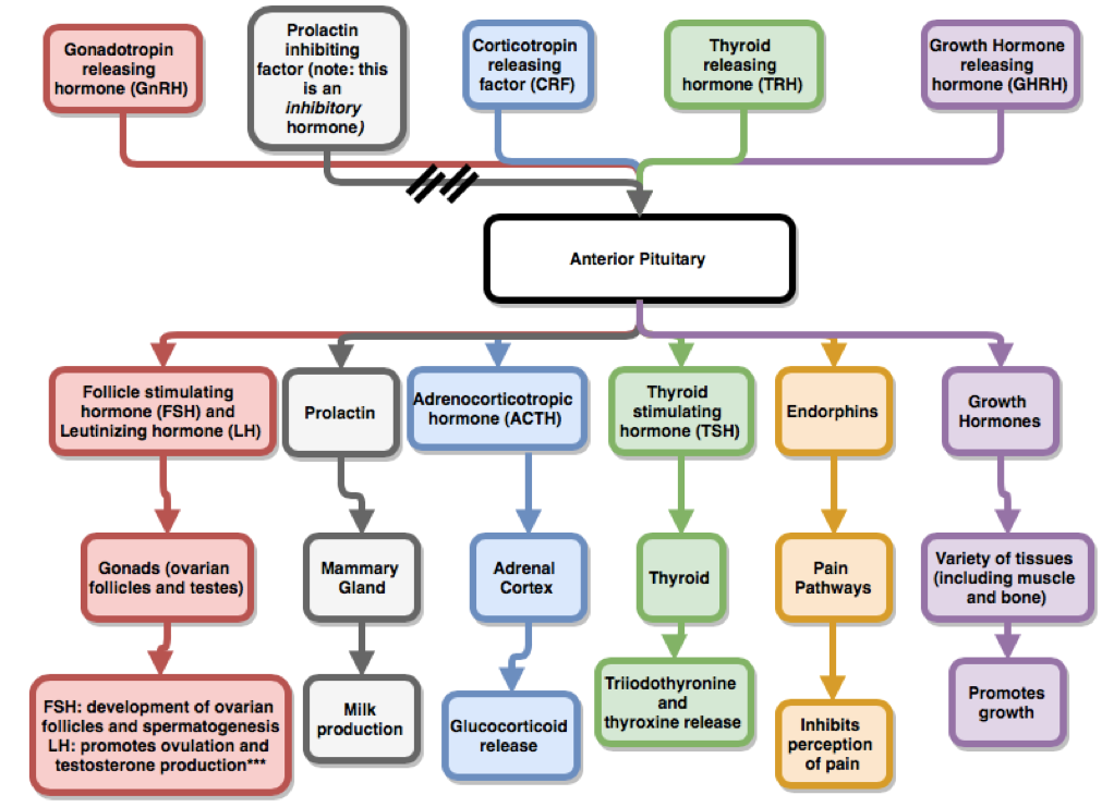 easy diagram of synapse essential tips for learning the anterior pituitary hormones