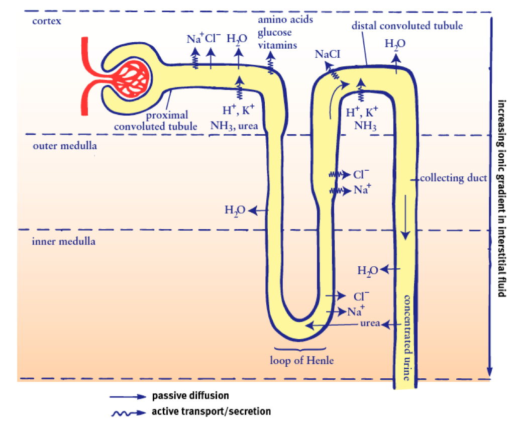 A Comprehensive Break Down of Nephron Functioning into Six